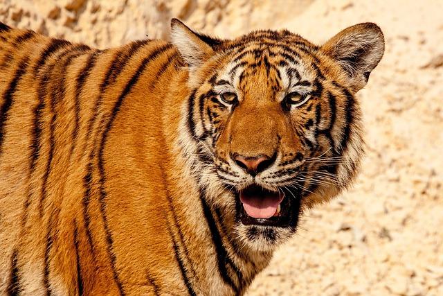 Tiger, Animal, Wild, Wildlife, Nature, Cat, Thailand