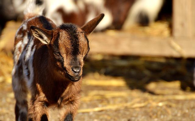 Goat, Wildpark Poing, Young Animals, Playful, Romp