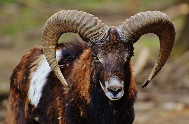 Aries, Wildpark Poing, European Mouflon, Wild