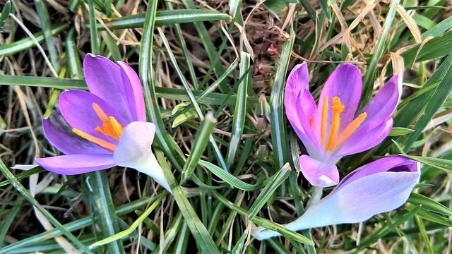 Crocus, Spring Flowers, Wildwachsend, Pink Flowers