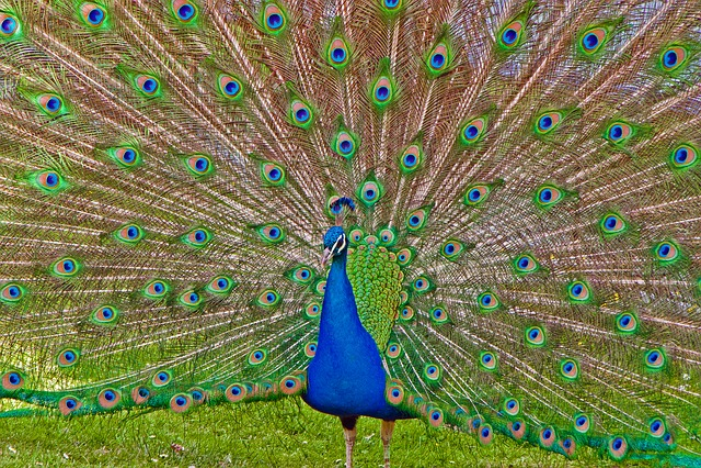 Peacock, Wilhelma, Stuttgart, Germany