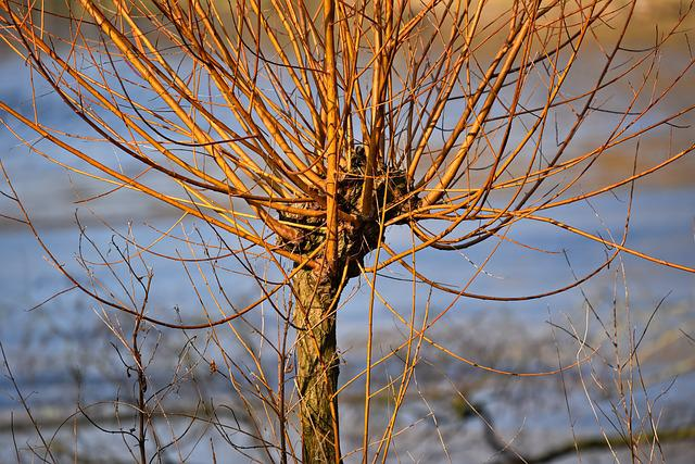 Willow, Golden Willow, Trunk, Branch, Bare, Winter