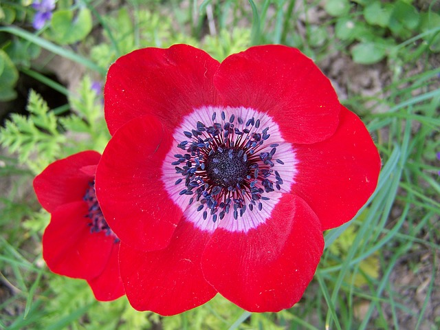 Wind Flower, Red Flower, Flower Garden