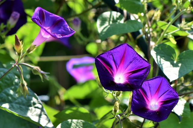 Superb Thread, Morning Glory, Wind Greenhouse