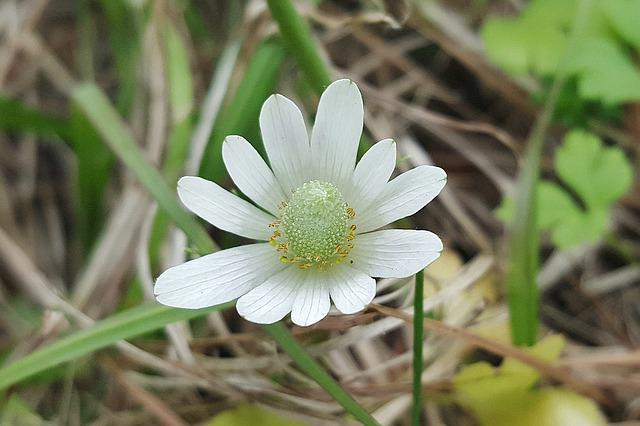 White-sepaled Windflower, Windflower, Wildflowers