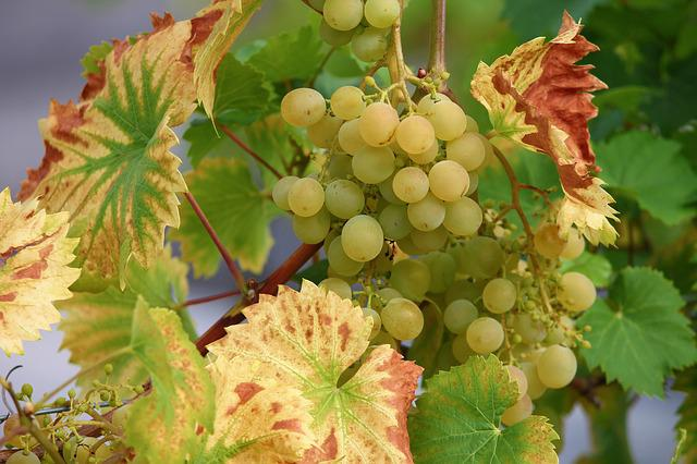 Grape, Vine, Wine, Winegrowing, Green Grapes, Green