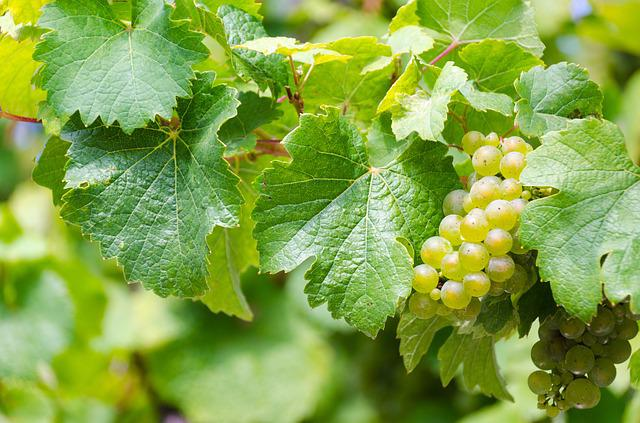 Riesling, White Wine, Grape Harvest, Wine, Vineyard