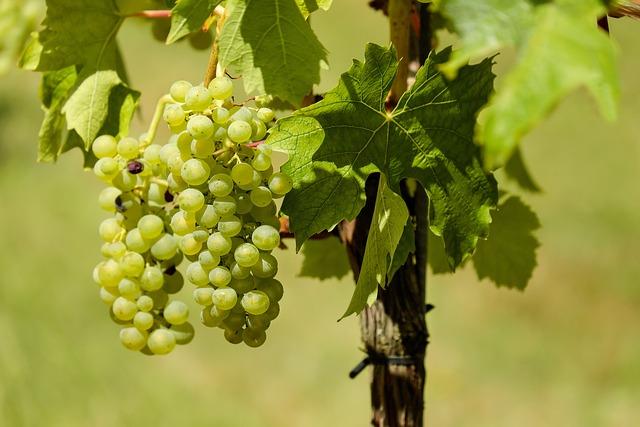 Grapes, Fruit, Vine, Vines, Wine