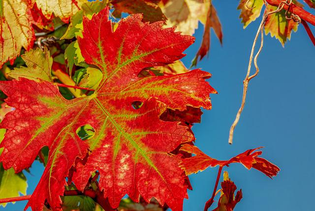Wine Leaf, Fall Color, Leaf, Bright, Red, Nature