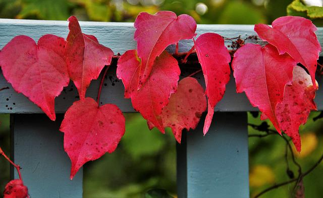 Reddish Autumn Leaves, Wine Partner, Autumn Colours