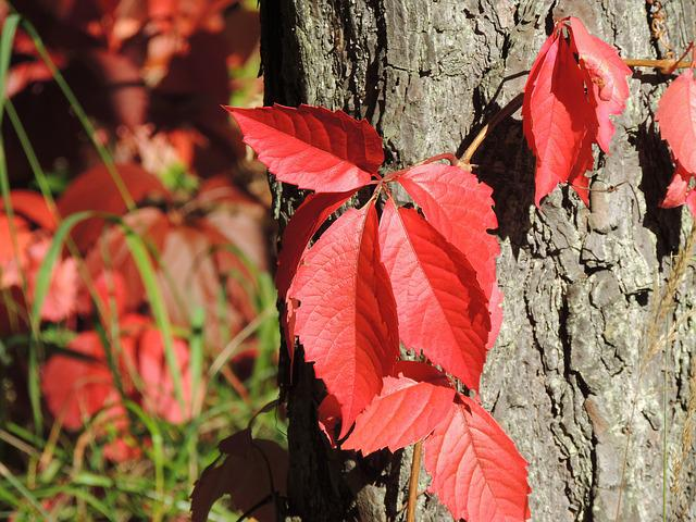 Wine Partner, Parthenocissus Quinquefolia, Red, Autumn