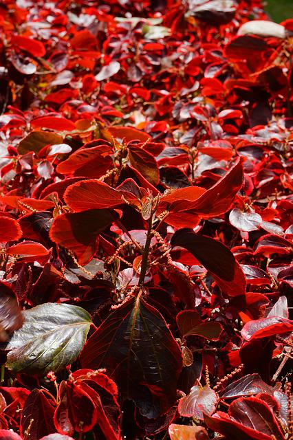 Bush, Leaves, Red, Wine Red, Reddish