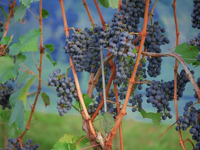 Grapes, Red Wine, Vineyard, Winegrowing, Red, Stengel