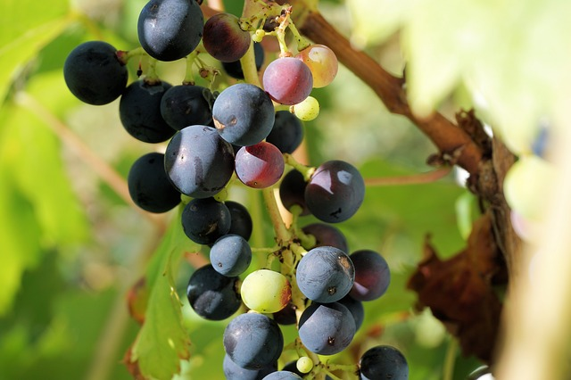 Grapes, Winegrowing, Grapevine, Fruit, Vine, Wine