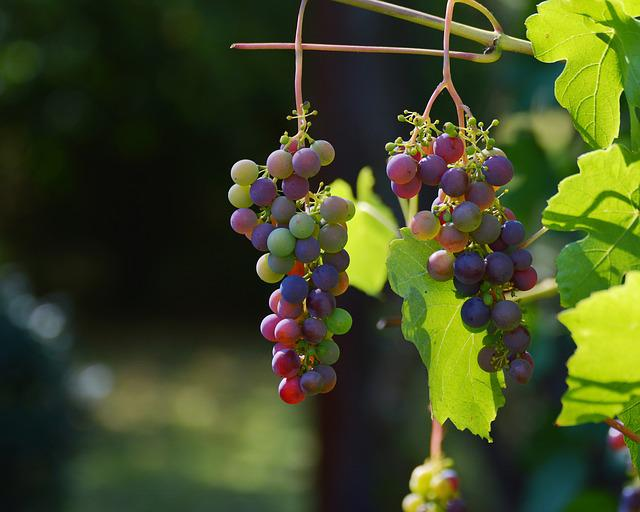 Grapes, Vine, Red Grapes, Wine, Winegrowing, Grapevine