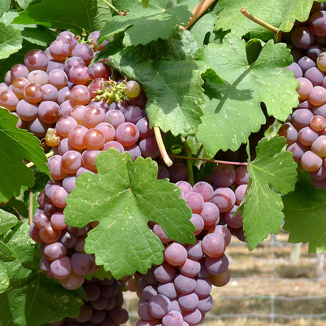 Grapes, Vineyard, Okanagan, Winery