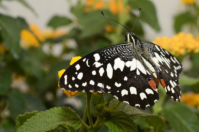 Butterfly, Insect, Wing, Fly, Animal, Black, Orange