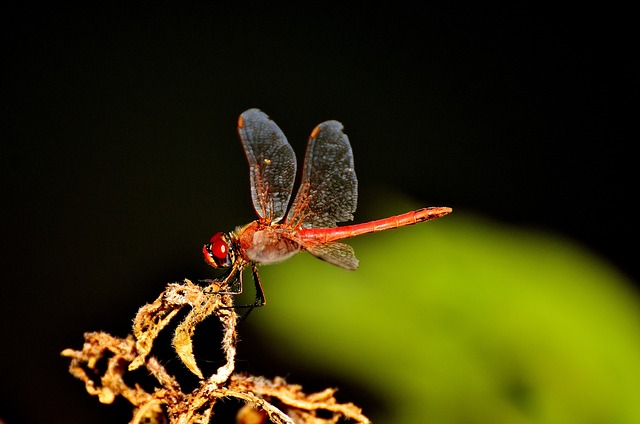 Dragonfly, Red, Insect, Nature, Animal, Wing