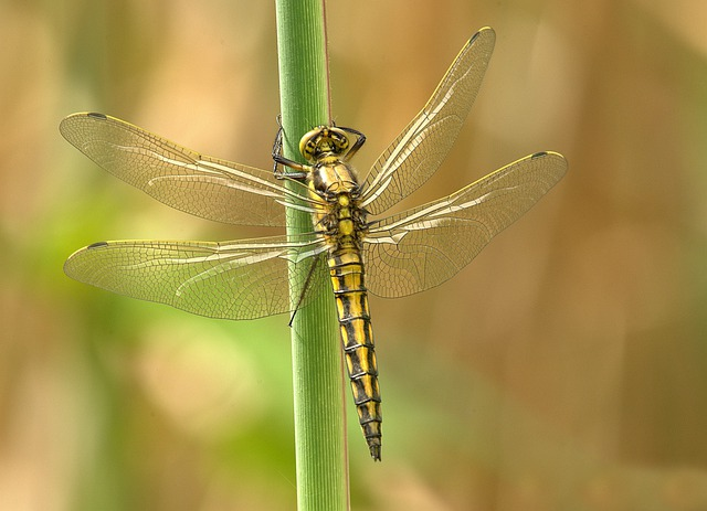 Dragonfly, Insect, Animal, Wing, Summer, Chitin