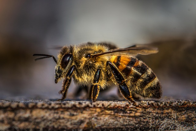 Insect, Nature, Bee, Honey, Honey Bee, Wing, Animal