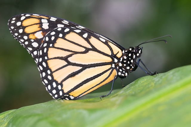 Butterfly, Insect, Nature, Wing, Animal