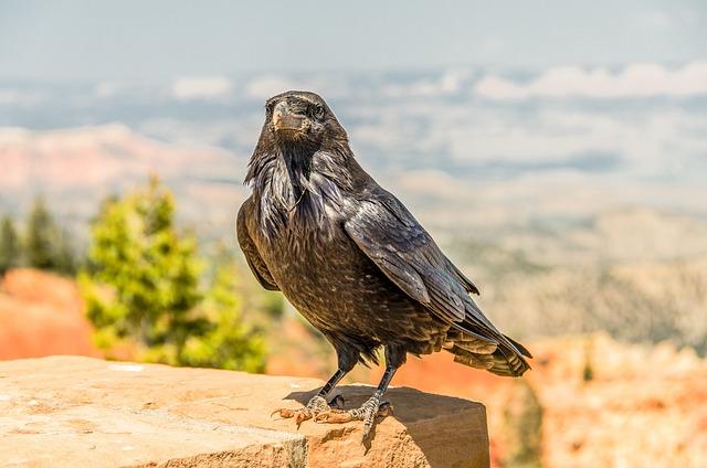 Bird, Crow, Nature, Wildlife, Black, Beak, Wing, Sky