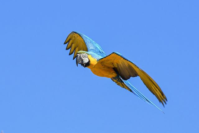 Parrot, Blue Macaw, Fly, Bird, Wing, Sky