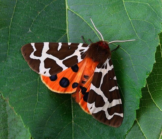 Moth, Macro, Insect, Close, Wing, Tiger
