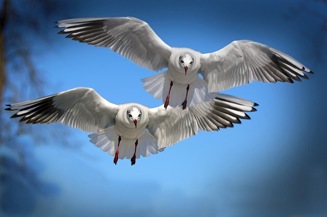 Gulls, Birds, Fly, Water Bird, Seevogel, Animal, Wing