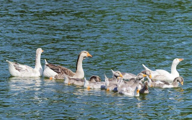 Group, Birds, Goose, Chicken, Feather, Wings, Beak