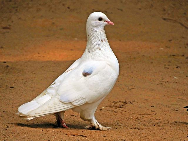 Pigeon, Bird, Wings, Nature, Wild