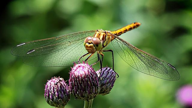 Ważka, Insect, Compound Eyes, Macro, Wings, Nature