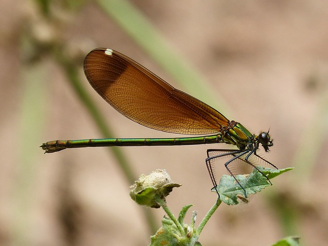 Calopteryx Haemorrhoidalis, Dragonfly, Wings, Detail