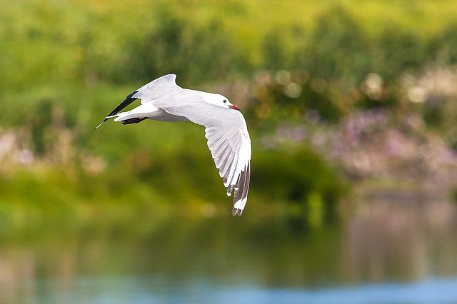 Hartlaub Gull In Flight, Golden Light, Wings, Wingspan