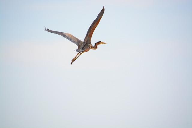 Heron, Wings, Nature, Flight