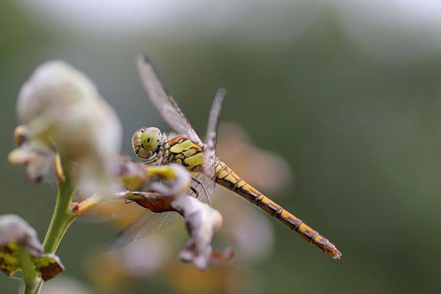 Dragonfly, Insect, Wings, Flight Insect, Flower, Plant