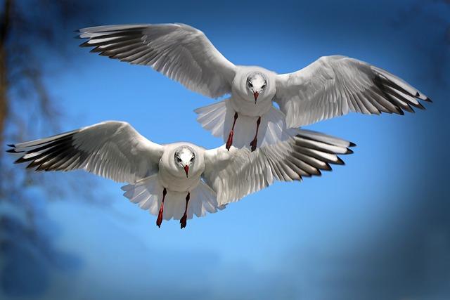 Seagulls, Pair, Flight, Wings, Fly, Flying Birds, Birds
