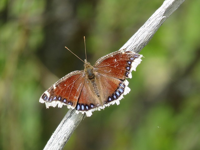 Butterfly, Tattered Wings, Insect, Wings, Wildlife