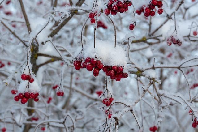 Viburnum, Berry, A Bunch Of, Bush, Snow, Winter