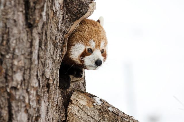 Red Panda, Chinese Panda, Animal, Winter, Zoo, Tree