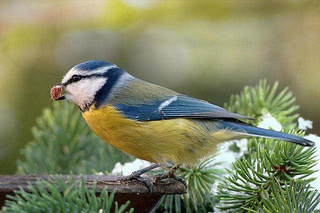 Blue Tit, Cyanistes Caeruleus, Bird, Animal, Winter