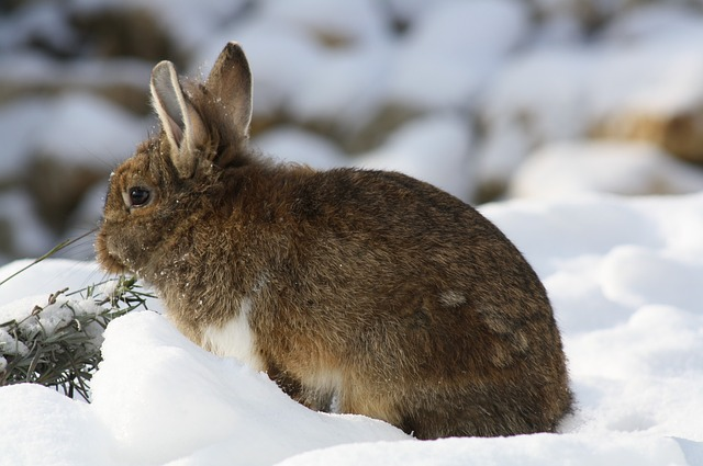 Winter, Snow, Nature, Cute, Cold, Rodent, Rabbit