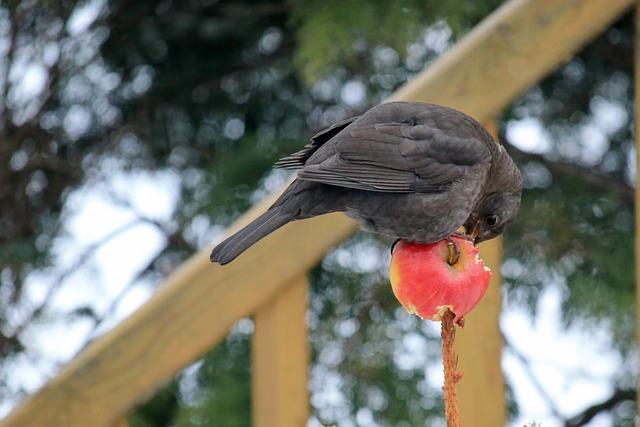 Bird, Blackbird, Female, Apple, Eat, Songbird, Winter