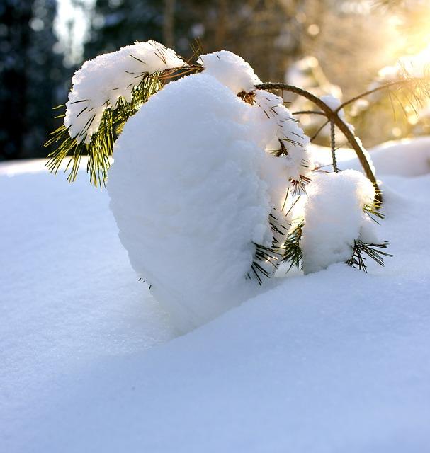Pine, Winter, Snow, Winter Forest, Landscape, Nature