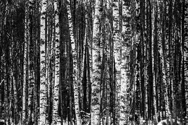Birch, Forest, Trees, Wood, Natural, Winter, Pattern