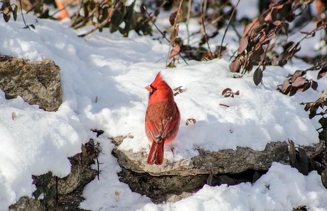 Cardinal, Winter, Redbird, Snow, Nature, Cold, Frost