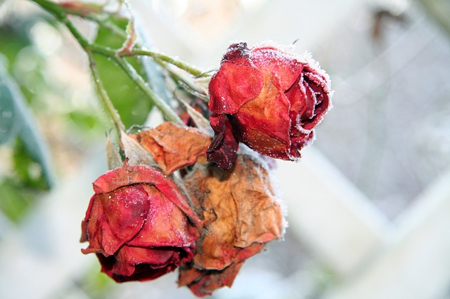 Roses, Winter, Frozen