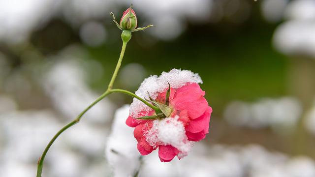 Flower, Red Flowers, Garden, Winter, Snow, The Pods
