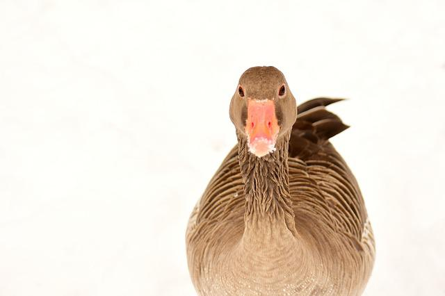 Goose, Water Bird, Snow, Winter, Wildlife Photography