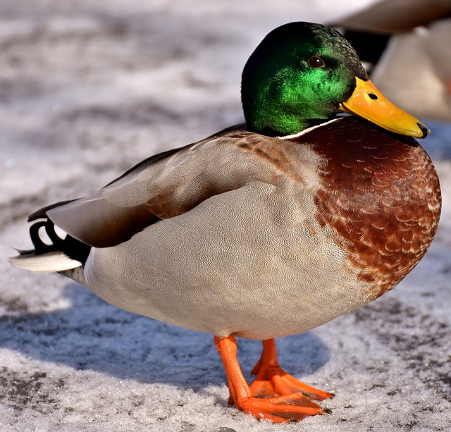 Mallard, Males, Bread, Eat, Snow, Winter, Water Bird
